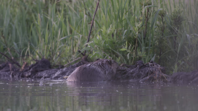 american beaver (castor canadensis) repairs dam, wyoming, usa - beaver stock videos & royalty-free footage