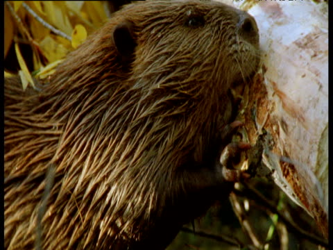 american beaver strips bark from felled tree at edge of its lake, montana - beaver stock videos & royalty-free footage