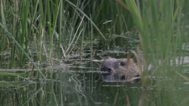 american beaver (castor canadensis) submerges in pond, wyoming, usa - biber stock-videos und b-roll-filmmaterial