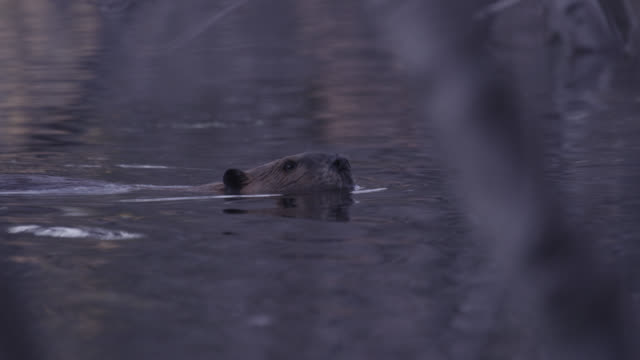 american beaver (castor canadensis) submerges in pond, wyoming, usa - beaver stock videos & royalty-free footage