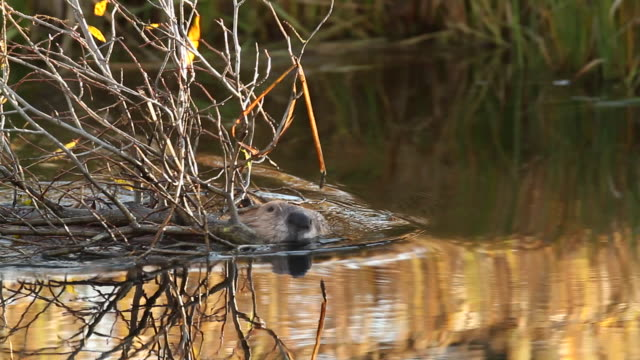 ms ts american beaver (castor canadensis) swimming upstream with branches in his mouth, with colorful reflection on water - beaver stock videos & royalty-free footage