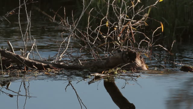 MS TS American beaver (Castor canadensis) swimming upstream with branches in his mouth, with colorful reflection on water