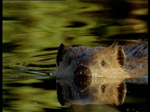 american beaver swims at surface of pool, montana - biber stock-videos und b-roll-filmmaterial