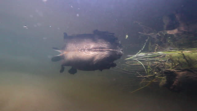 american beaver (castor canadensis) swims underwater, wyoming, usa - beaver stock videos & royalty-free footage