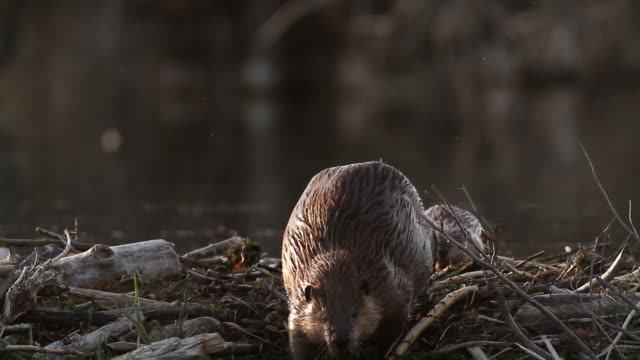 ms ts american beaver (castor canadensis) walking over the top of her dam with a baby beaver following behind her - beaver stock videos & royalty-free footage