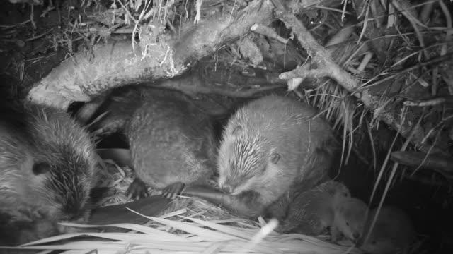 vídeos y material grabado en eventos de stock de american beavers (castor canadensis) inside lodge, wyoming, usa - castor