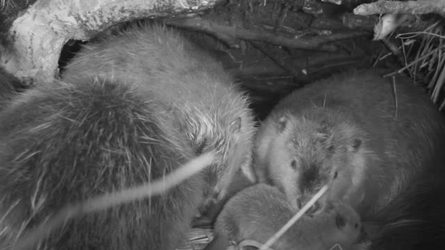 american beavers (castor canadensis) inside lodge, wyoming, usa - beaver stock videos & royalty-free footage