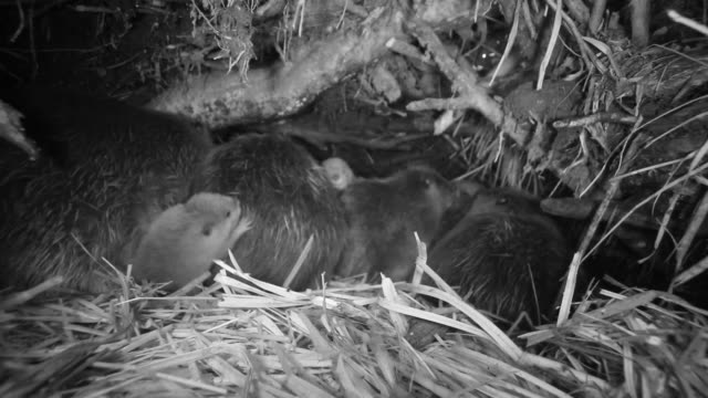 american beavers (castor canadensis) rest inside lodge, wyoming, usa - medium group of animals stock videos & royalty-free footage