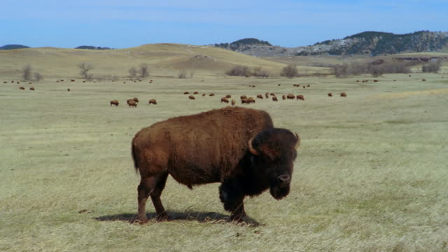 american bison chewing cud in field with herd grazing in background at custer state park / custer, south dakota - custer staatspark stock-videos und b-roll-filmmaterial