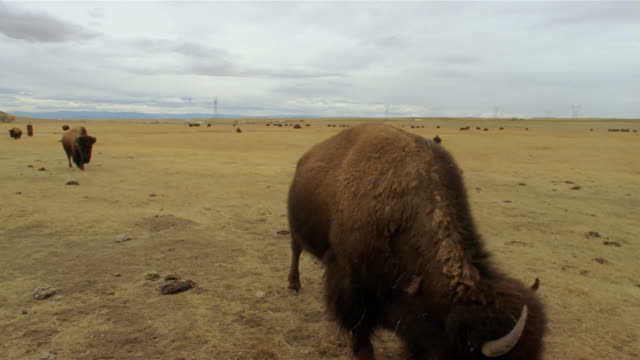 american bison coming to feed at custer state park, south dakota - カスター州立公園点の映像素材/bロール