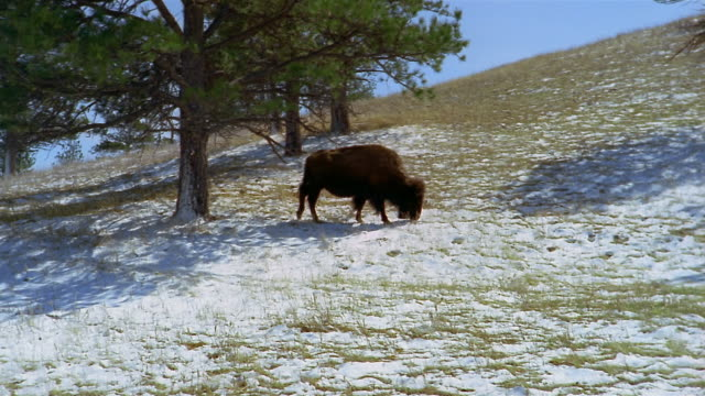 american bison foraging in patch of snow on hill at custer state park / custer, south dakota - custer state park stock videos & royalty-free footage