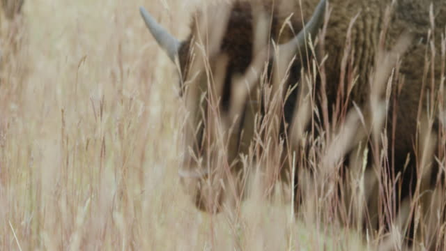 ms r/f american bison grazing on rolling prairies / custer state park wind cave national park, south dakota, united states - custer staatspark stock-videos und b-roll-filmmaterial