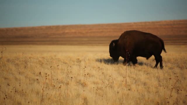 american bison grazing - prairie stock videos and b-roll footage