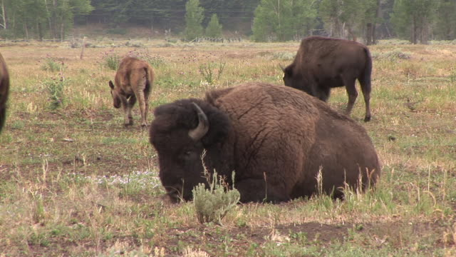 ms, american bison (bison bison) in field, grand teton national park, wyoming, usa - grand teton national park stock videos & royalty-free footage