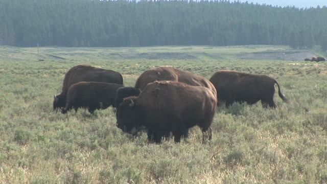 vidéos et rushes de ms, american bison (bison bison) in field, hayden valley, yellowstone national park, wyoming, usa - petit groupe d'animaux