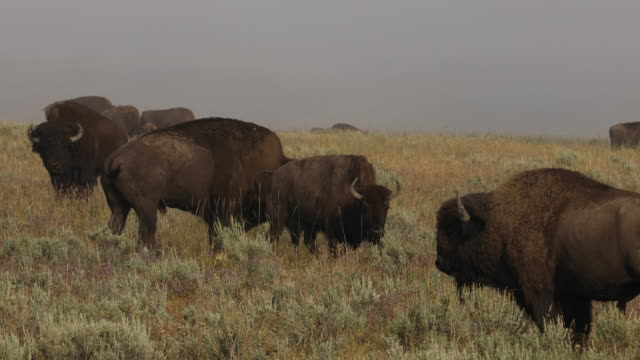 American Bison roaming in a field during the annual Yellowstone Bison rut.