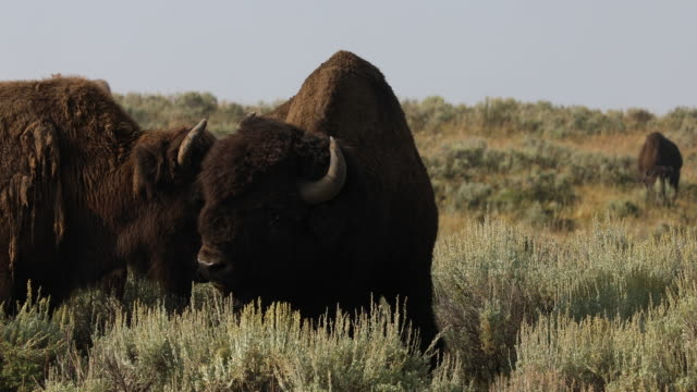 american bison roaming in a field during the annual yellowstone bison rut. - tre animali video stock e b–roll