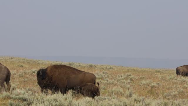 vídeos de stock, filmes e b-roll de american bison roaming in a field during the annual yellowstone bison rut. - parque nacional de yellowstone