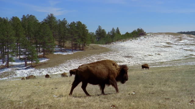 american bison walking across field with herd grazing in background at custer state park / custer, south dakota - custer staatspark stock-videos und b-roll-filmmaterial