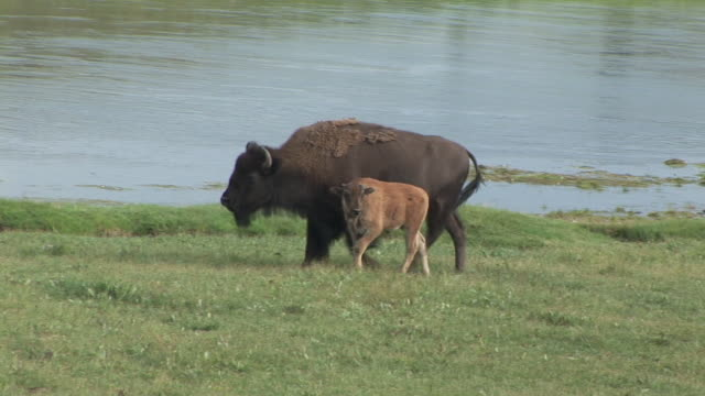 ms, pan, american bison (bison bison) with calf walking along yellowstone river, hayden valley, yellowstone national park, wyoming, usa - young animal stock videos & royalty-free footage