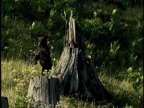 stockvideo's en b-roll-footage met ms, american black bear (ursus americanus) cub, alberta, canada - boomstronk
