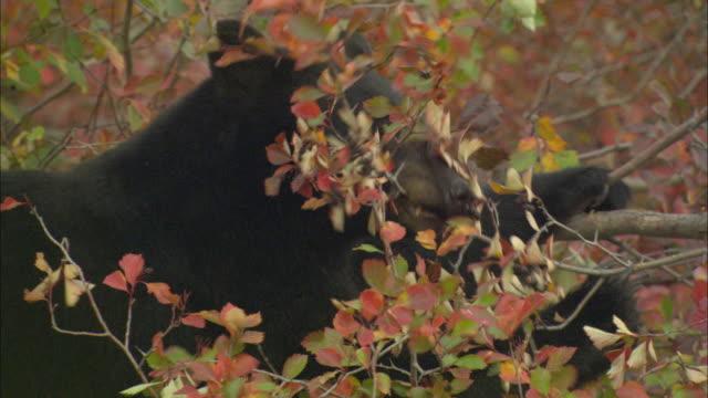 cu american black bear (ursus americanus) eating berries from tree / grand teton national park, wyoming, usa - grand teton national park stock videos & royalty-free footage