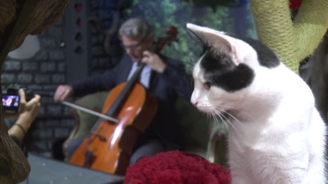american cellist david teie may be allergic to cats but that has not stopped him from composing the world's first album for felines and at lady... - cellist stock videos & royalty-free footage