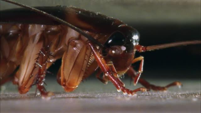 cu, american cockroach (periplaneta americana) grooming - cockroach stock videos & royalty-free footage