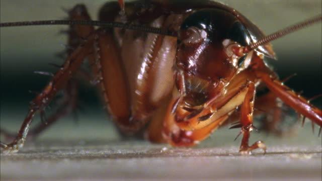 cu, american cockroach (periplaneta americana) grooming - ゴキブリ点の映像素材/bロール