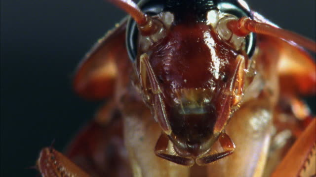ecu, american cockroach (periplaneta americana) grooming - ゴキブリ点の映像素材/bロール