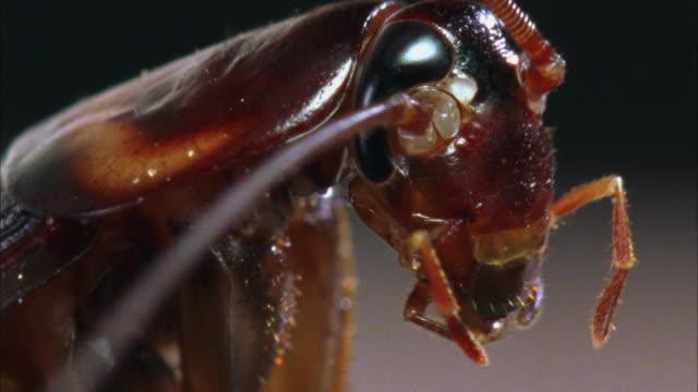 vídeos y material grabado en eventos de stock de ecu, american cockroach (periplaneta americana) grooming - acicalarse