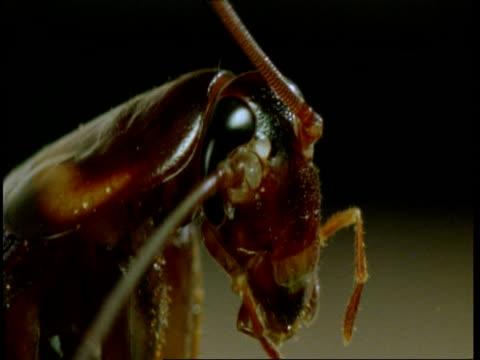 bcu american cockroach (periplaneta americana) in profile - kopf stock-videos und b-roll-filmmaterial