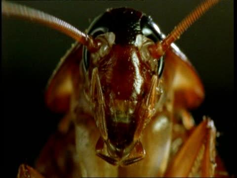 bcu american cockroach (periplaneta americana) looking to camera - ゴキブリ点の映像素材/bロール