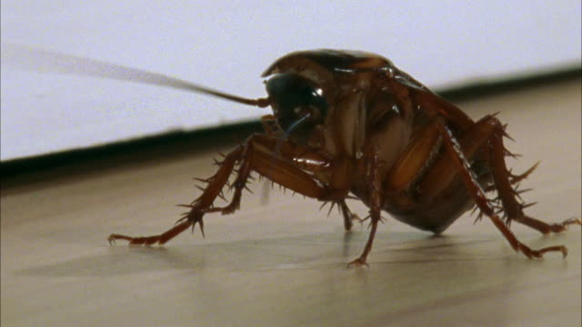 vídeos de stock, filmes e b-roll de ms, american cockroach (periplaneta americana) on floor - feiura