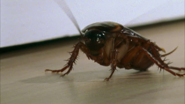 ms, american cockroach (periplaneta americana) on floor - ゴキブリ点の映像素材/bロール