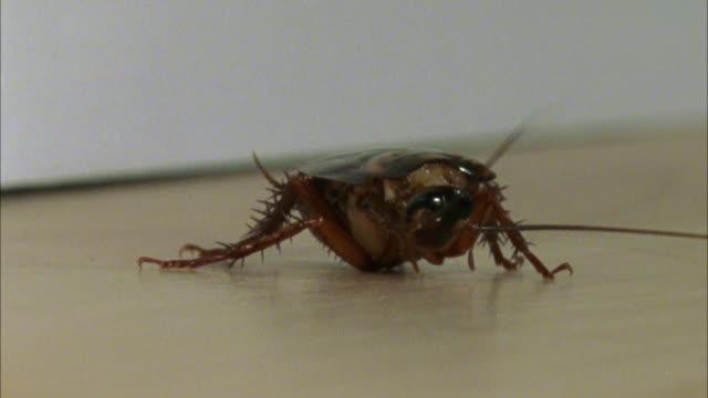 ms, american cockroach (periplaneta americana) on floor - cockroach stock videos & royalty-free footage