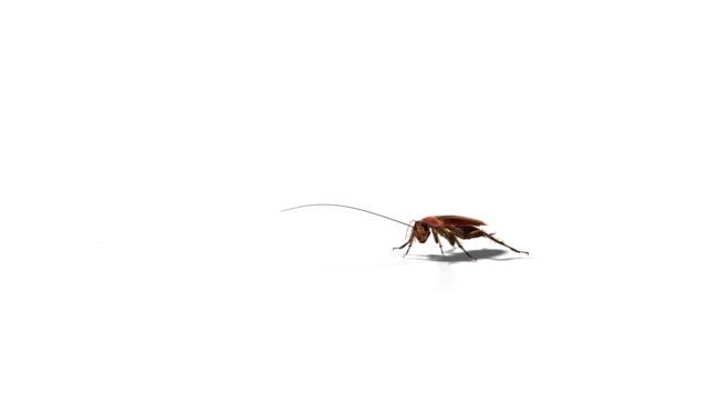 american cockroach periplaneta americana on white - cockroach stock videos & royalty-free footage