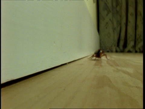 cu american cockroach (periplaneta americana) running along wooden floor to camera - ゴキブリ点の映像素材/bロール