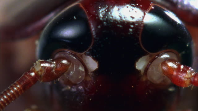 ecu, american cockroach (periplaneta americana) - ゴキブリ点の映像素材/bロール