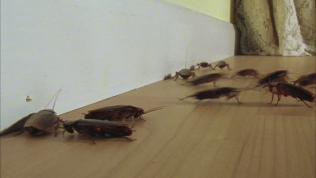 ws, american cockroaches (periplaneta americana) scuttling around room - cockroach stock videos & royalty-free footage