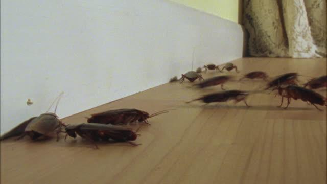 ws, american cockroaches (periplaneta americana) scuttling around room - ゴキブリ点の映像素材/bロール