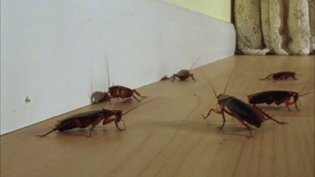 ws, american cockroaches (periplaneta americana) scuttling around room - insect stock videos & royalty-free footage