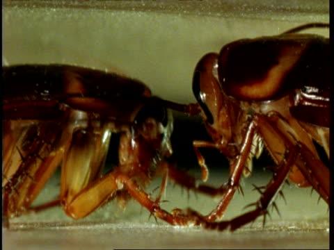 bcu 2 american cockroaches (periplaneta americana) standing head to head grooming - cockroach stock videos & royalty-free footage