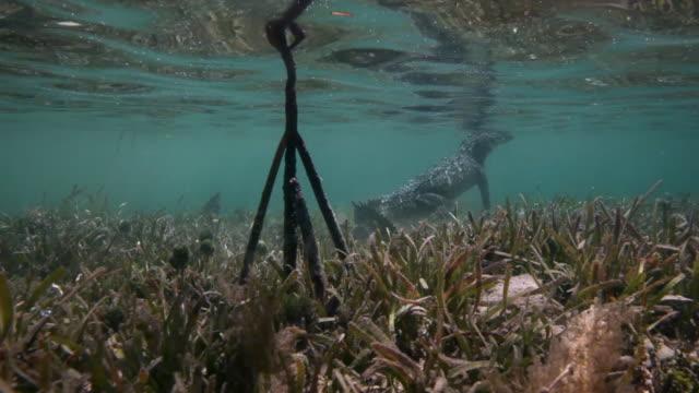 vídeos y material grabado en eventos de stock de american crocodile - antillas occidentales