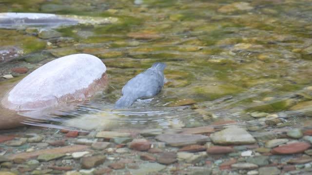 american dipper - ousel bird - montana western usa stock videos & royalty-free footage