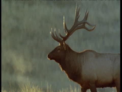american elk looks around with steaming breath, montana - 牡鹿点の映像素材/bロール