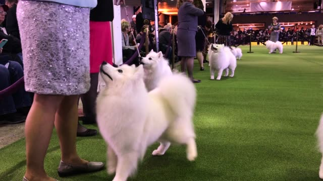 American Eskimo dogs prepare to compete at the 142nd Westminster Kennel Club dog show February 12 2018 in New York City The show is scheduled to see...
