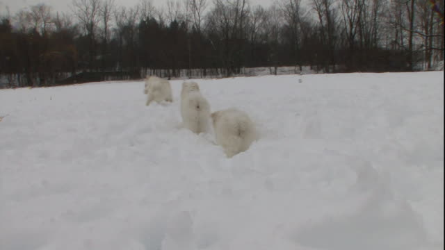 american eskimo puppies play in the snow. - american eskimo dog stock videos & royalty-free footage