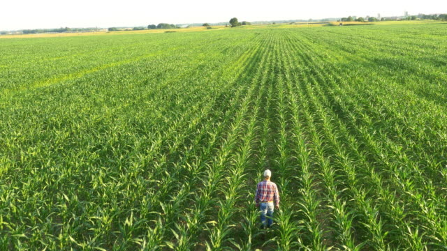 aerial american farmer in the field - corn cob stock videos & royalty-free footage