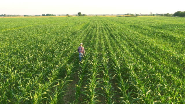 aerial american farmer walking in corn field - american culture stock videos & royalty-free footage